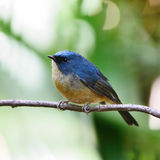 Mannelijke leiachtig-Blauwe Vliegenvanger Royalty-vrije Stock Afbeelding