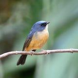 Mannelijke leiachtig-Blauwe Vliegenvanger Stock Afbeeldingen