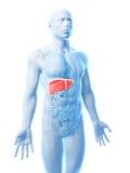 Mannelijke lever Stock Foto
