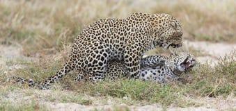Mannelijke luipaard die een wijfje bijten terwijl het koppelen op kort gras in natu Stock Fotografie