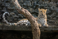 Mannelijke luipaard die in zijn beperking bij een Indische dierentuin rusten Stock Afbeelding