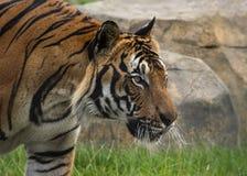 Mannelijke Maleise tijger in gevangenschap stock foto