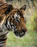 Mannelijke Maleise tijger in gevangenschap royalty-vrije stock afbeelding