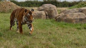 Mannelijke Maleise tijger in gevangenschap royalty-vrije stock foto