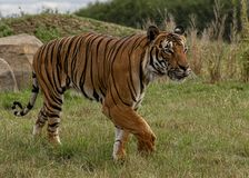 Mannelijke Maleise tijger in gevangenschap royalty-vrije stock fotografie