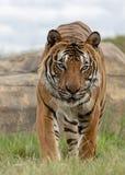 Mannelijke Maleise tijger in gevangenschap stock afbeelding