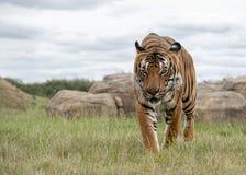 Mannelijke Maleise tijger in gevangenschap stock fotografie