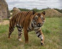 Mannelijke Maleise tijger in gevangenschap stock foto's