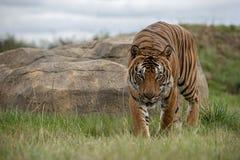 Mannelijke Maleise tijger in gevangenschap royalty-vrije stock afbeeldingen