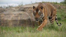 Mannelijke Maleise tijger in gevangenschap stock afbeeldingen