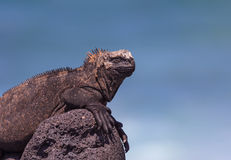 Mannelijke Marine Iguana op Lava Rock Stock Foto's