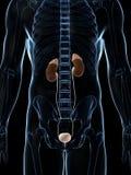 Mannelijke nieren Royalty-vrije Stock Foto's