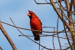 Mannelijke Noordelijke Kardinaal (cardinaliscardinalis) stock foto