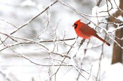 Mannelijke Noordelijke Kardinaal op winterse achtergrond Stock Fotografie