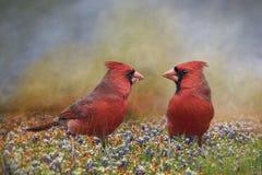 Mannelijke Noordelijke Kardinalen stock foto's