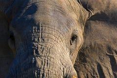 Mannelijke olifant Stock Foto