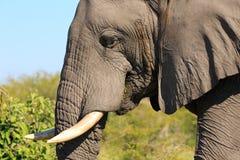 Mannelijke olifant Royalty-vrije Stock Foto's