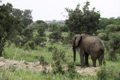 Mannelijke Olifant die door bos lopen Royalty-vrije Stock Foto's