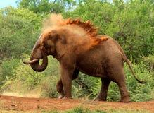 Mannelijke Olifant die een zandbad hebben Stock Afbeelding