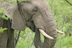 Mannelijke olifant die met die Ivoorslagtanden borstel in Umfolozi-Spelreserve eten, Zuid-Afrika, in 1897 wordt gevestigd Stock Fotografie