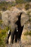 Mannelijke olifant van Pilanesberg, Zuid-Afrika Stock Foto