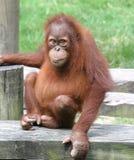 Mannelijke orangoetan Stock Afbeeldingen