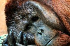 Mannelijke Orangoetan Stock Afbeelding