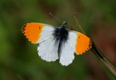Mannelijke oranje uiteindevlinder Stock Fotografie