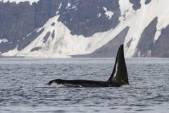 Mannelijke orka die tegen de achtergrond van Bering zwemt Royalty-vrije Stock Afbeelding