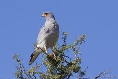 Mannelijke Pale Chanting Goshawk-zitting in een boom tegen blauwe Kalaha Royalty-vrije Stock Fotografie