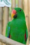 Mannelijke Papegaai Eclectus Royalty-vrije Stock Afbeeldingen
