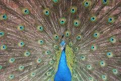 Mannelijke Pauw met staartveren in volledige vertoning Stock Foto