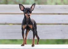 Mannelijke Pincher Toy Dog stock afbeeldingen