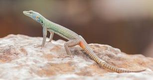 Mannelijke Platysaurus-hagedis op een rots in Mapungubwe, Zuid-Afrika Royalty-vrije Stock Foto