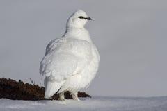 Mannelijke ptarmigan die zich in de sneeuw bevindt Royalty-vrije Stock Foto's