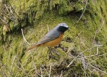 Mannelijke Redstart Stock Afbeelding
