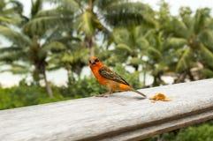 Mannelijke rode fody Foudiamadagascariensis, Seychellen en de vogel van Madagascar Royalty-vrije Stock Foto's