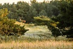 Mannelijke rode herten op helling stock afbeelding