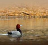 Mannelijke Roodharigeeend in het Water Royalty-vrije Stock Afbeeldingen