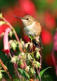 Mannelijke Rufous kolibrie Royalty-vrije Stock Afbeeldingen