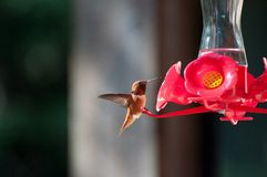 Mannelijke Rufus-kolibrie Royalty-vrije Stock Foto's