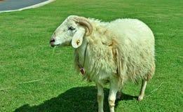 Mannelijke schapen Royalty-vrije Stock Afbeeldingen