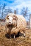 Mannelijke schapen met lange staart die van kudde worden gescheiden stock afbeeldingen