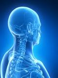 Mannelijke schedel Stock Foto's