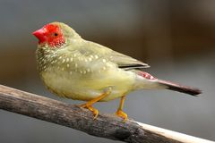 Mannelijke Ster Finch Singing Stock Foto's