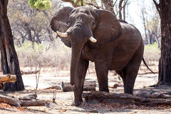 Mannelijke Stierenolifant - Chobe N P Botswana, Afrika royalty-vrije stock afbeeldingen