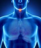 Mannelijke strottehoofdanatomie Stock Afbeeldingen