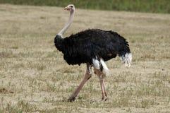 Mannelijke struisvogel Royalty-vrije Stock Afbeeldingen