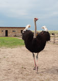 Mannelijke struisvogel Royalty-vrije Stock Foto