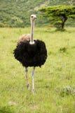 Mannelijke struisvogel Royalty-vrije Stock Foto's